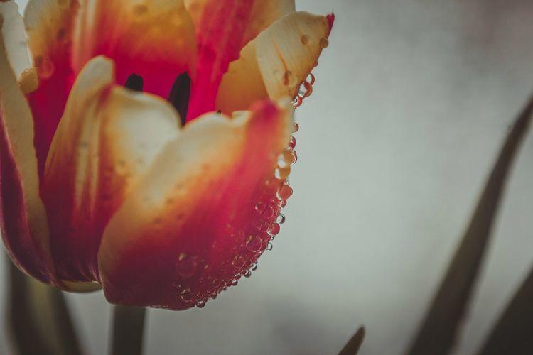 Tulips Tulipmania Tulip Poplar Tulip Flowers Tulipanes🌷 Macroshot Eye Em Nature Lover Nature Macro Photography EyeEm Nature Lover Macro Nature Macro_flower Macro_collection EyeEm Best Shots - Nature EyeEm Flower Macro Flowers_collection Macro_perfection Flower Beauty In Nature Macro Flowers Macro Beauty Flower_Collection Plant Flower Power
