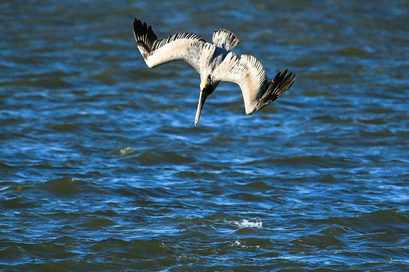Pelican Diving Over Water