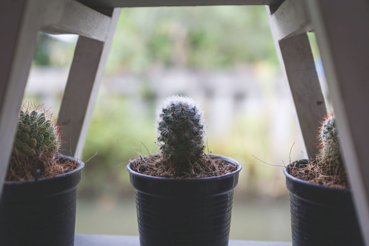 Close-up of potted cactus plants in greenhouse