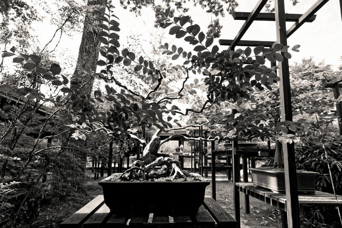Jardin Floral de Paris - Black Banzaï Architecture BANZAI Banzai Tree Beauty In Nature Black And White Blackandwhite Bonzai Day Flower Growth Japan Japon Jardin Floral De Paris Moth4fok Nature No People Noir Et Blanc Noiretblanc Outdoors Paris Plant Sky Tree Vegetation Live For The Story Place Of Heart The Great Outdoors - 2017 EyeEm Awards The Photojournalist - 2017 EyeEm Awards EyeEmNewHere Sommergefühle EyeEm Selects