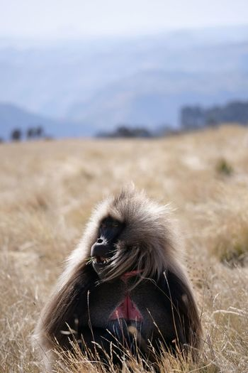 Simien Mountains Gelada Grass Simien Mountains National Park Animals In The Wild Animal Themes Ethiopia Africa Mountain Animal Themes Close-up Sky Landscape Grass Baboon Monkey Primate Animal Hair The Portraitist - 2019 EyeEm Awards