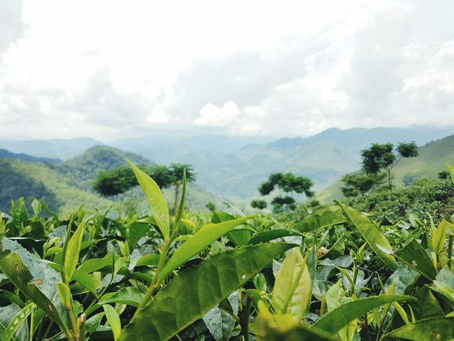 Agriculture Growth Field Crop  Farm Cereal Plant Nature Rural Scene Plant Green Color Day No People Cloud - Sky Landscape Outdoors Sky Scenics Irrigation Equipment Beauty In Nature Tree Teagarden Tea Plantation  Tea Plant