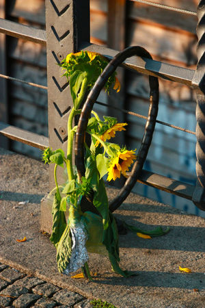 Berlin Berlin Photography City City Life City Perspectives Locked Locks Secured Securety Sunflower Bike Lock Bouquet Close-up Day No People Outdoors Plant Railing Secure Secure Parking Secured Objects Berlin Love Discover Berlin Paint The Town Yellow The Graphic City