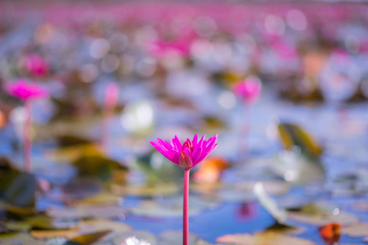 Thailand Beauty In Nature Blooming Close-up Day Floating On Water Flower Flower Head Focus On Foreground Fragility Freshness Growth Lake Leaf Lotus Lotus Water Lily Nature No People Outdoors Petal Phatthalung Wallpaper Water Water Lily