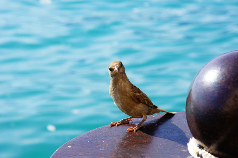 Animal Themes Animal Wildlife Animals In The Wild Bird Close-up Day Nature No People One Animal Outdoors Perching Sea Sparrow Sparrow Bird Summer Sunny Text Space Water