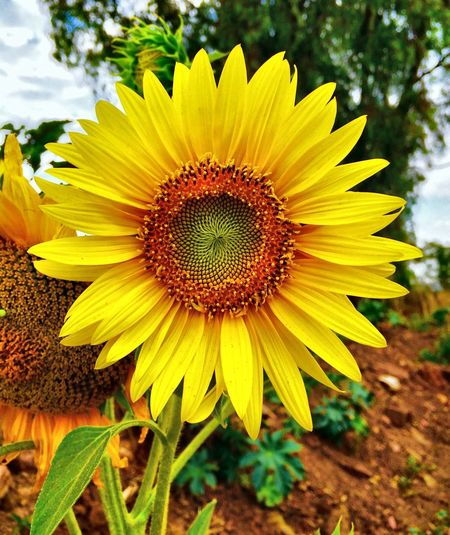 Close-Up Of Fresh Sunflower Blooming In Field