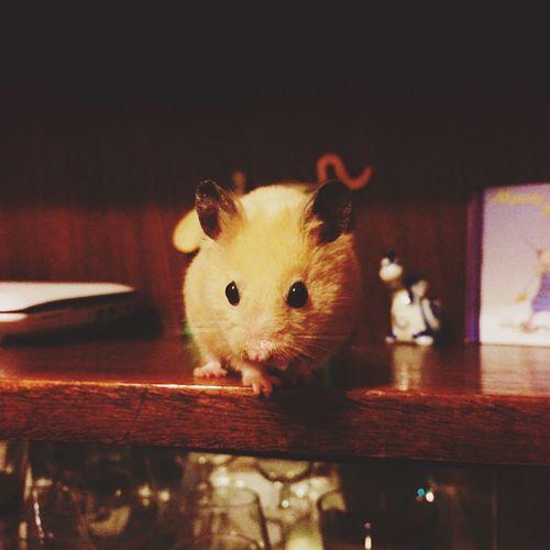 Hamster Love My Hamster Hamster ♡ Home Animal