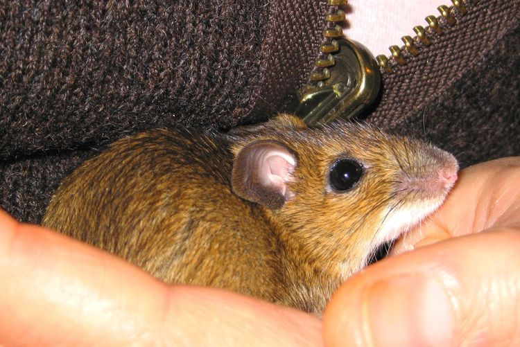 Mouse Tame Impala Apodemus Flavicollis Baby Mouse Mouse In Hand Holding Human Hand Pets