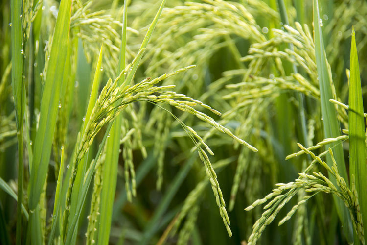 Growth Plant Green Color Agriculture Cereal Plant Crop  Farm Nature Rural Scene Close-up Beauty In Nature Land Field Landscape Full Frame Wheat No People Day Backgrounds Rice Outdoors Plantation Rice Paddy Rice Grain Rice - Food Staple