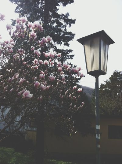 Austrias Spring Beauty Flowers Tumblr