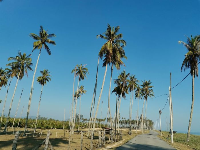 Road by palm trees against clear blue sky