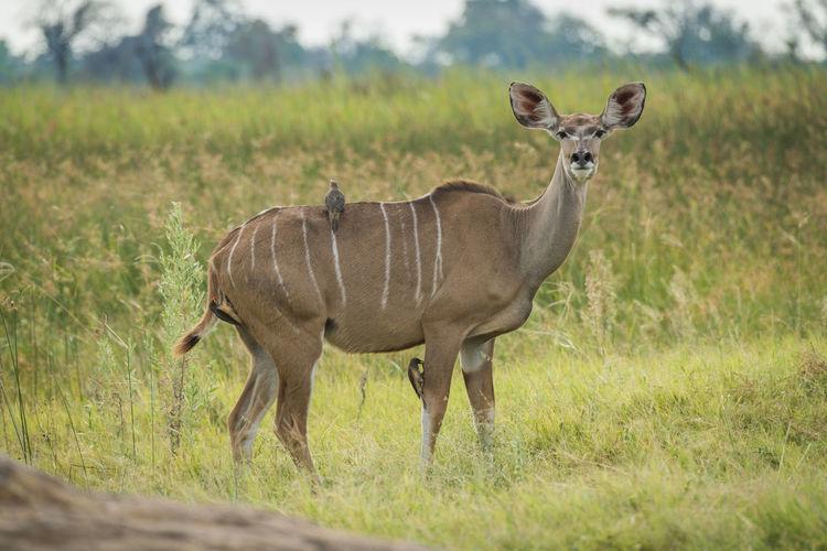 Portrait of kudu standing on field