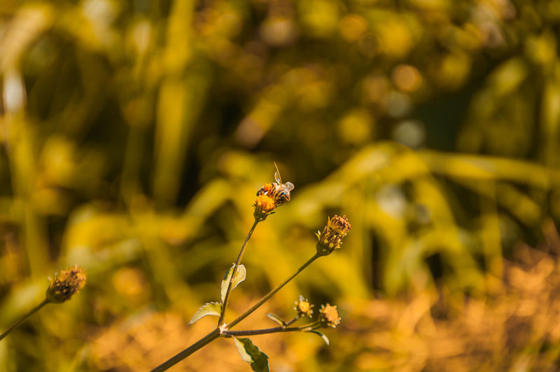 Abelha Bee