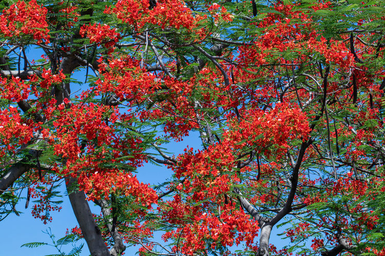Low angle view of red flowering tree