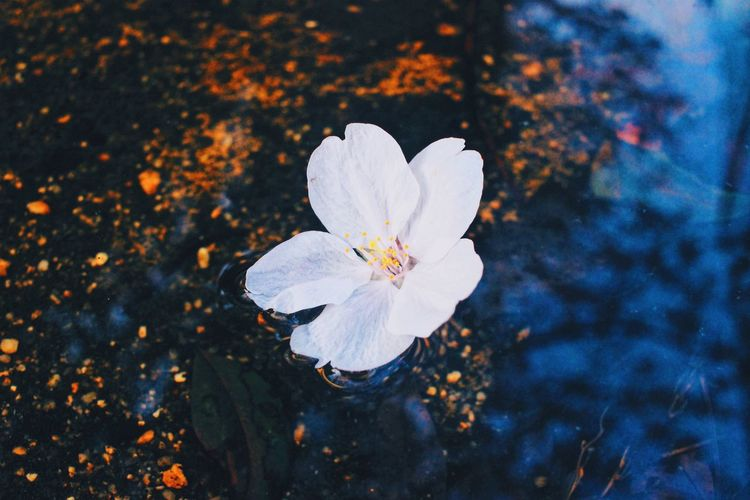 Your existence makes me breath softly.❤️❤️❤️ Flower Nature Petal Blossom Beauty In Nature White Color Flower Head Blooming Growth Fragility Freshness Springtime Close-up Stamen Spring Cherry Blossoms Sakura Love Renewal  Sprung Japan EyeEm EyeEm Nature Lover EyeEm Best Shots