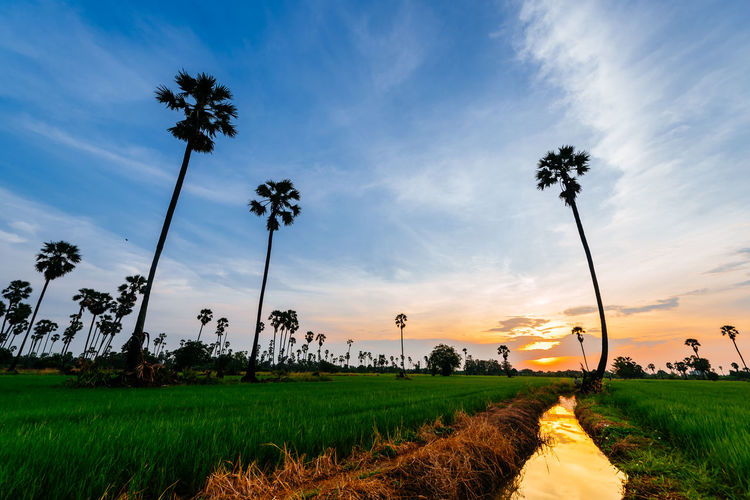 rice field in twilight time Rice Field Coconut Trees Tree Sunset Agriculture Rural Scene Field Crop  Sunlight Farm Sky Grass Blooming