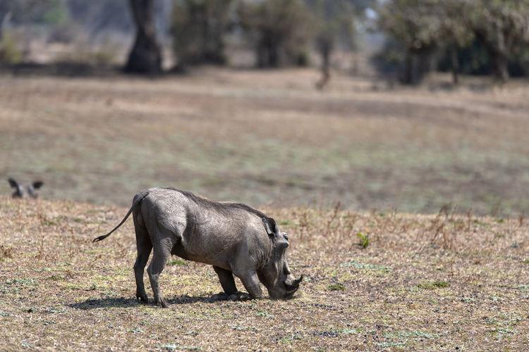 Warthog standing on field