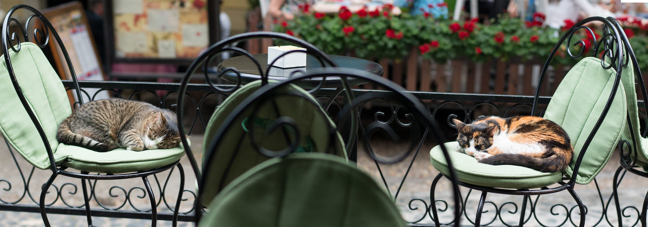 two lazy cats sleeping on antique chairs Adorable Atmosphere Cafe Cat Chairs Close-up Day Domestic Animals Domestic Cat Enjoyment Feline Flower Fluffy Lazy Lying Down Mammal Napping Outdoors Outside Panorama Pets Romantic Street Table Terrace