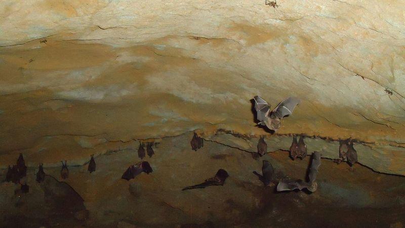 Cueva - Selva oriente Ecuatoriano Cueva Animals Murcielago Bat