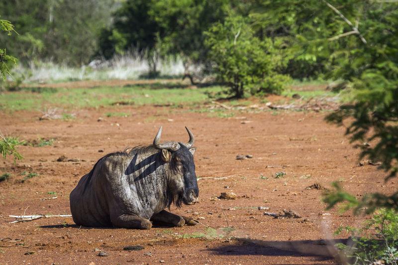 Wildebeest sitting on land