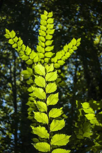 Summertime Tree Leaf Leaves Plant Botany Green Summer Tree Leaf Fern Close-up Green Color Plant