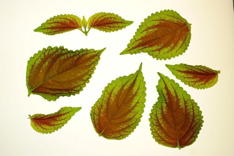 Botany Close-up Coleus Arranged Leaves Botany Light Box Painted Nettle Studio Shot Transillumination White Background