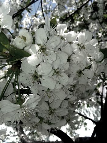 Be. Ready. Beauty In Nature Freshness Growth Orchard Sour Cherry Tree