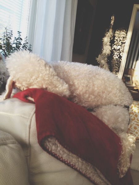 ?? Love Dog Bedlingtonterrier Taking Photos Portrait Cutie