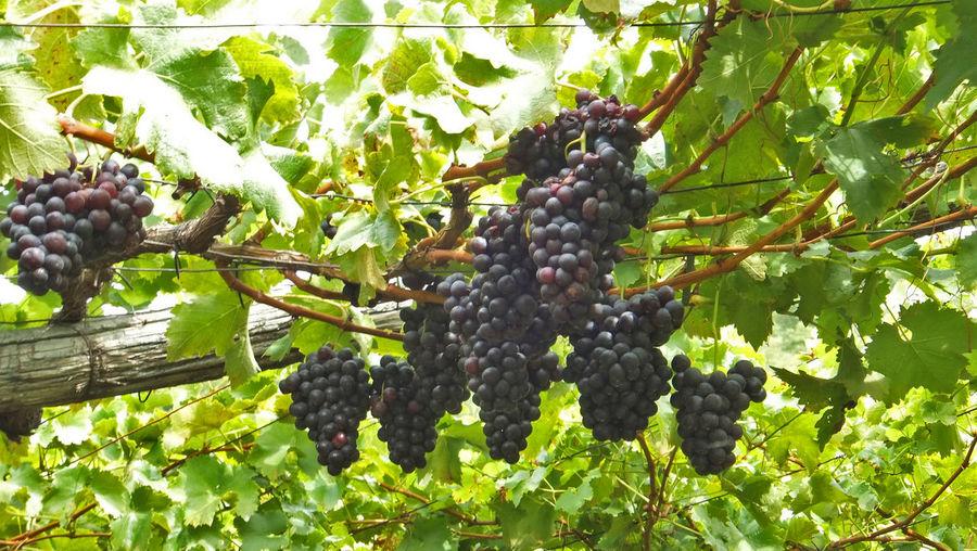 Wine Bio Italien Weinberg Weinrebe Wine Tasting Biology Day Green Color Growth Leaf Nature Outdoors Plant Wachsen Weinblätter Weinreben Weinstock Weintrauben