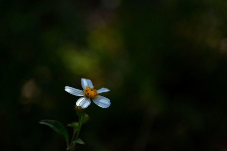little flower in the dark negative space Low Light Low Key Copy Space Sunlit Sunlit Dark Background Lowlight Copy Space Flower Petal Fragility Flower Head Plant Nature Freshness Beauty In Nature Close-up Outdoors Focus On Foreground Growth No People Springtime Day