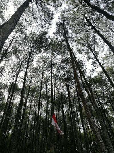 Merah Putih - Indonesia National Flag Pine Forest Mangunan Pinus Merahputih INDONESIA Indonesia_photography Yogyakarta