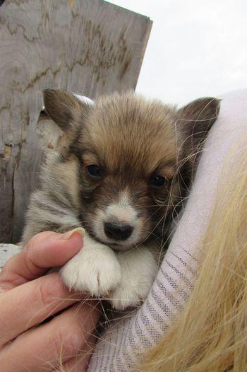 Woman with pembroke welsh corgi puppy
