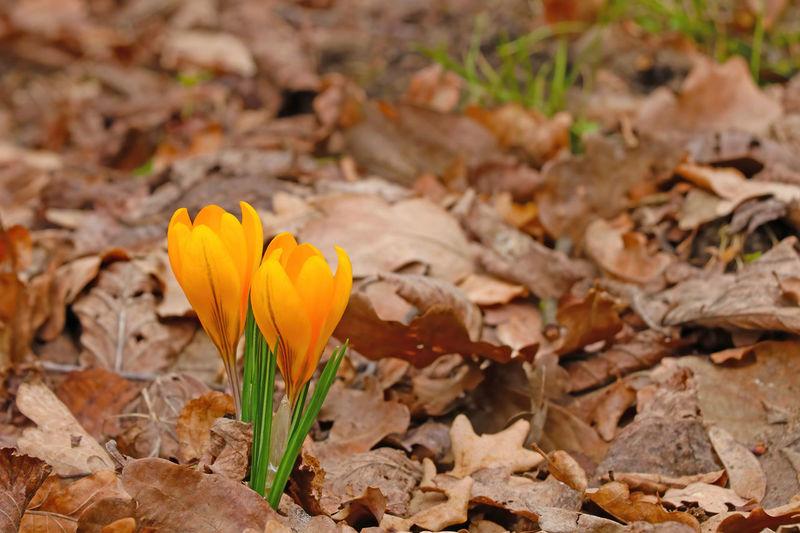 Close-up of yellow crocus flower on field