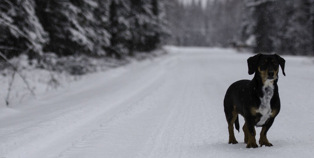 Dachshund standing on snow covered road
