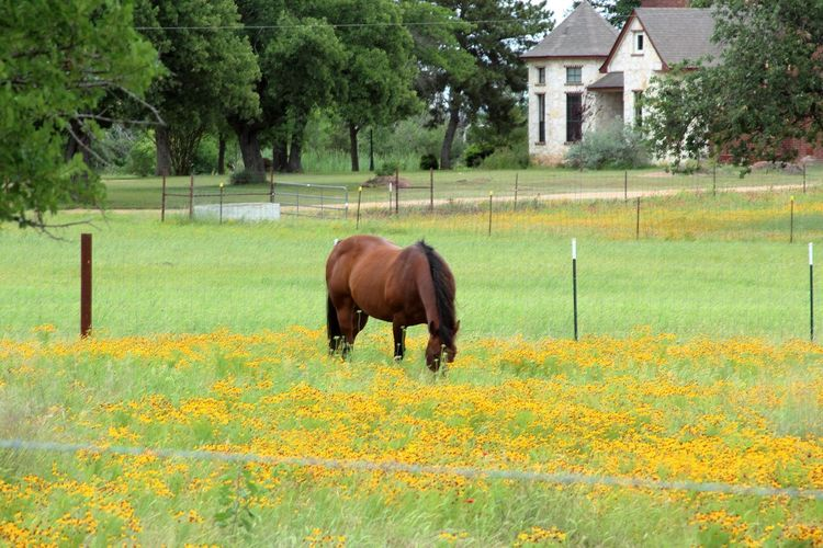 Beauty In Nature Field Horse In Pasture Horse Life Horse Photography  Horse Photos Livestock No People One Animal Outdoors
