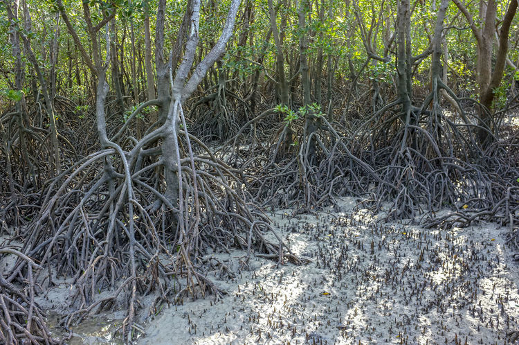 Mangrove at low tide at East Point Reserve in Darwin, Northern Territory, Australia. Australia East Point Darwin Australia East Point Reserve Ecosystem  Fragile Ecosystem Rhizophoraceae Environment Growth Halophytes Mangrove Mangrove Roots Nature No People Outdoors Plant Rhizophora Tranquility Tree
