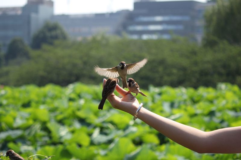 Sparrows Perching On Woman Hand In Park