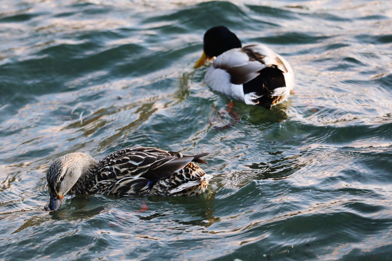 High angle view of duck swimming in sea