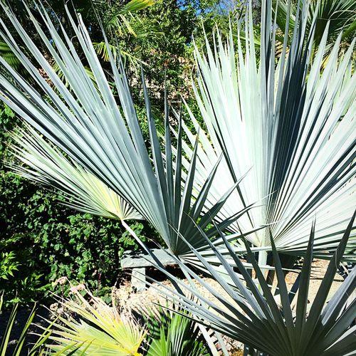 Brahea Super Silver Palm Trees Leaves Open Edit