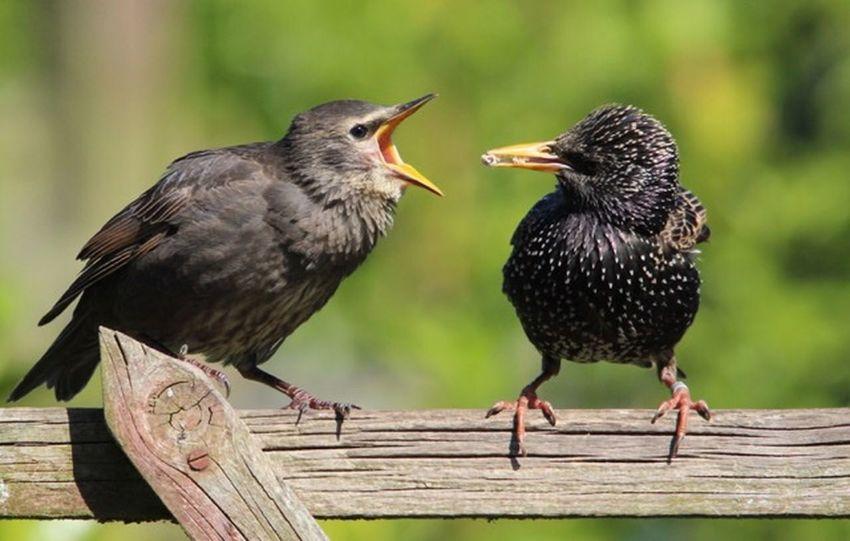 Feed me !!! Starling Bird Animal Themes Animal Two Animals Vertebrate Animal Wildlife Group Of Animals
