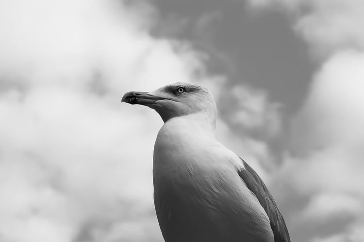 Beak Animal Black And White Animal Themes Animal Wildlife Animals In The Wild Beak Bird Bw Close-up Day Focus On Foreground Nature No People One Animal Outdoors Perching Seagull Sky