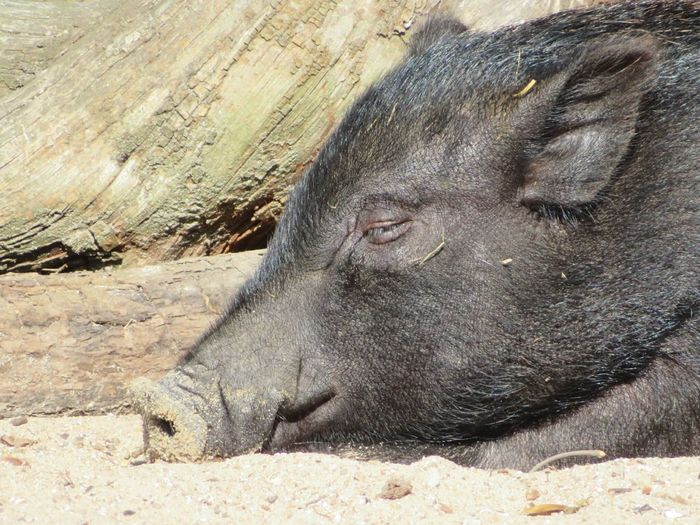 Close-Up Of Pig Relaxing On Field
