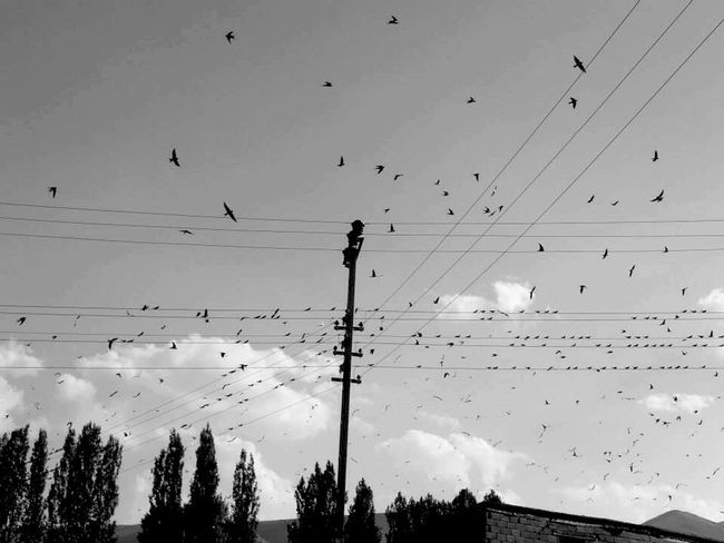 Bird Flock Of Birds Cable Large Group Of Animals Animals In The Wild Silhouette Flying Animal Themes Nature Beauty In Nature Low Angle View Electricity  Animal Wildlife Power Line  Sky Outdoors Motion Mid-air Telephone Line Scenics Manzara Dediğin  Blackandwhite EyeEm Best Shots Village Siyahbeyaz