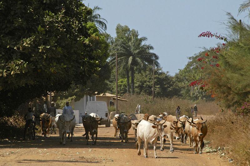 Ziguinchor Senegal West Africa Ziguinchor Africa Casamance Cows Day Domestic Animals Livestock Outdoors Senegal Tree