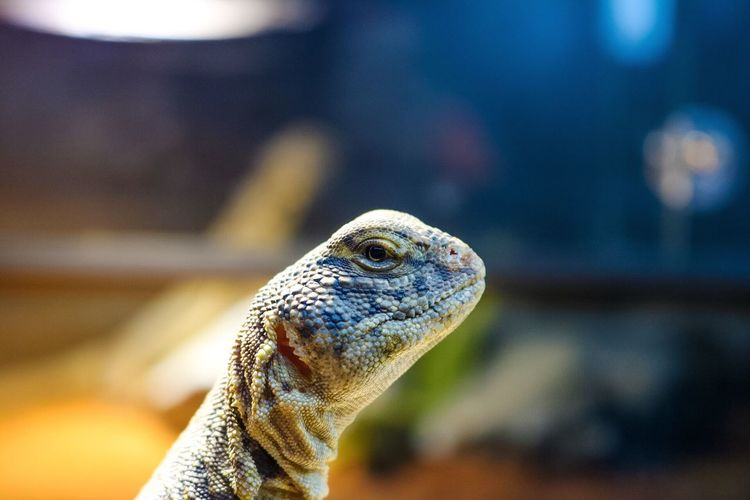 One Animal Reptile Animal Themes Animal Wildlife Animals In The Wild Lizard Bearded Dragon Nature No People Close-up Indoors  Day