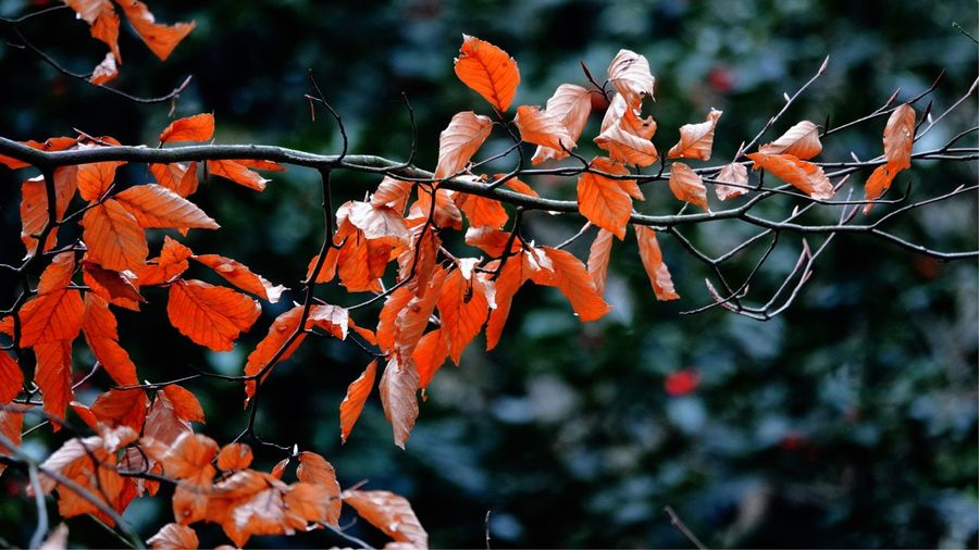 Januari 2019 Leaves Leaves Background Autumn Leaves EyeEm Selects Plant Growth Tree Nature Branch Focus On Foreground Leaf Beauty In Nature Orange Color Red Change Fragility Plant Part Outdoors Vulnerability  Tranquility Day Close-up No People