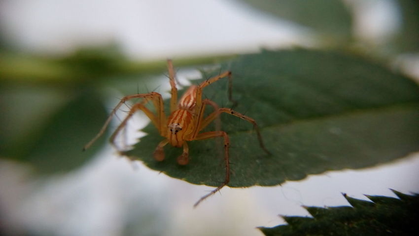 Orange colored spider.. Insect Animal Wildlife No People One Animal Animals In The Wild Day Close-up Spider Web Nature Animal Themes Outdoors Closing Macro World Macro Nature Macro Photography Macro Macro Insects Spider Spider Macro Shot With Mobile Clip Lens