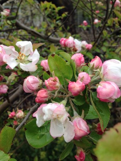Flower Beauty In Nature Pink Color Plant Springtime Apple Blossom April