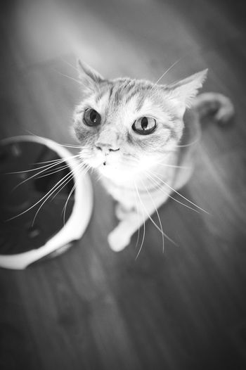 Ace Acethecat Kitty Cat LittleDevil Hungrycat Blackandwhite Monochrome B&w Animals Pet Ilovecats Mustachecat  Mustache