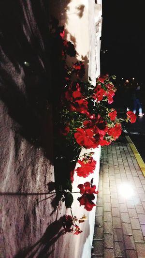 Flower Red Night